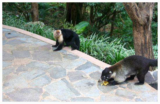 Rainbow Valley Lodge: coatis and monkeys came to the lodge
