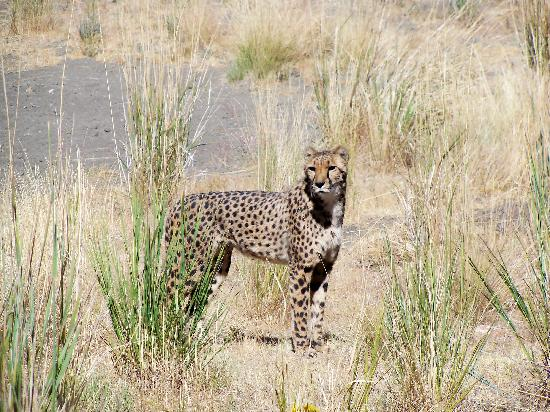 Animal Ark: Cheetah