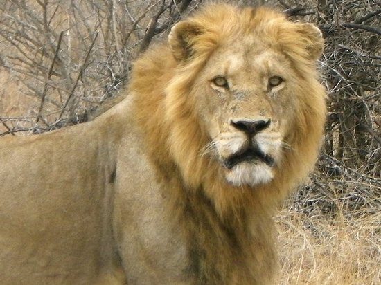 Kempton Park, Südafrika: Male lion during the Kruger safari.