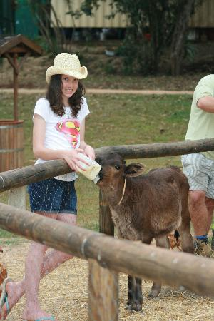 Malanda Falls Caravan Park: Feeding the calves