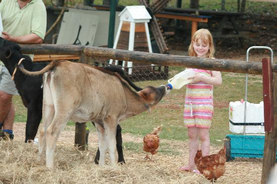 Malanda Falls Caravan Park: Calf feeding - What an opportunity!