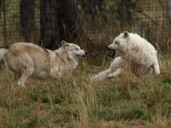 Bear Country USA: Wolves fighting for meal