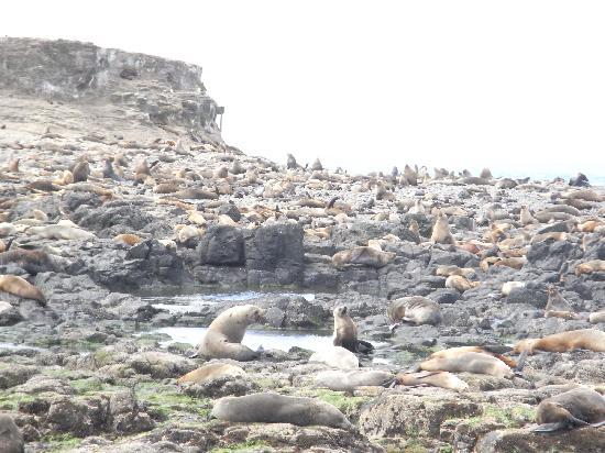 Phillip Island Cottages: Island seals