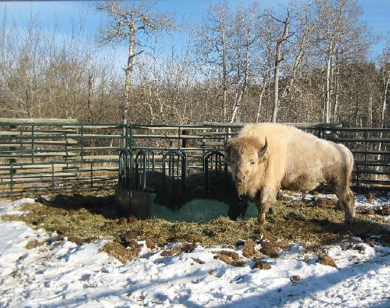 Rafter Six Ranch Resort: Teton; the only white buffalo in all of North America!  12/10/11