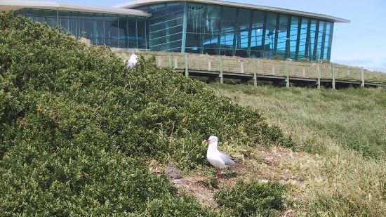 The Nobbies Centre: Nesting Gulls