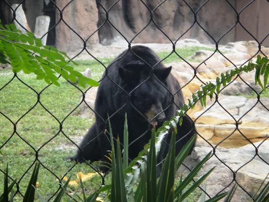 Palm Beach Zoo & Conservation Society : Black Bear