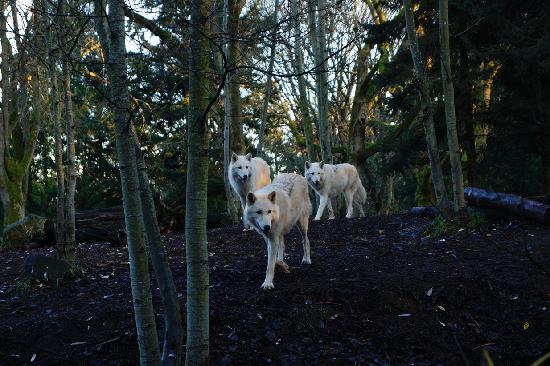 Woodland Park Zoo: 늑대