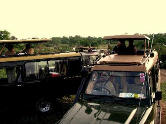12 safari vehicles stop to view a leopard family on an early game drive