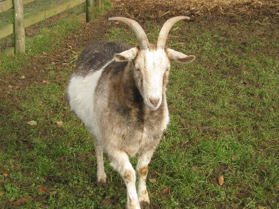 Old Down Country Park : Goat