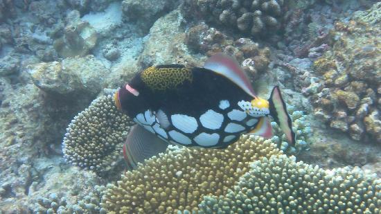 Bathala Island Resort: pesce balestra picasso