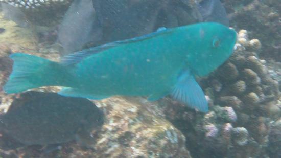 Bathala Island Resort: pesce pappagallo camuso