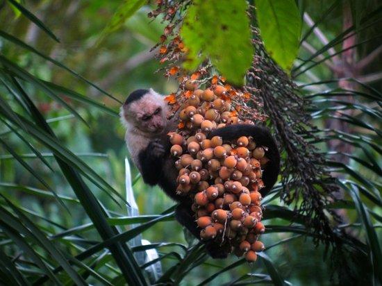 Manuel Antonio National Park, Costa Rica: Weissschulterkapuzineraffe am Abhängen