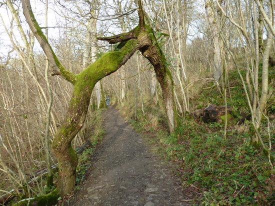Hareshaw Linn: The odd shaped tree