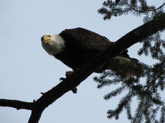 Eagle Rock Bed and Breakfast Chemainus: View of Our Eagles from Guest Living Area