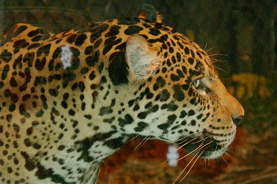 Chattanooga Zoo: large cats at night