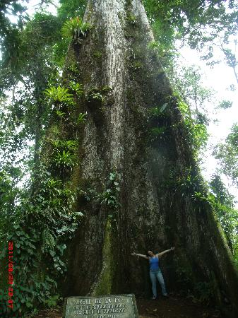 Tenorio Volcano National Park, Kosta Rika: On the way to Rio Celeste, there is this marvelous tree!!!