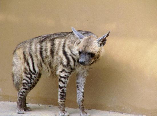 Al Areen Wildlife Sanctuary: Hyena