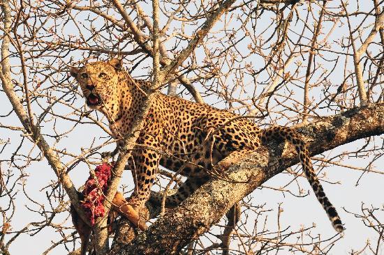 Londolozi Private Game Reserve: Leopard with kill