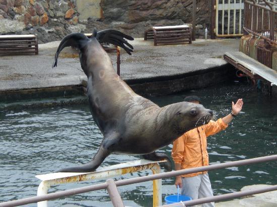 Otaru  Aquarium: トドのショー