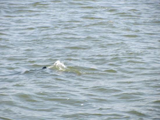 Captiva Island, FL: Dolphin