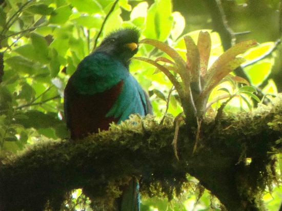 Forest Alive: Quetzal in Monteverde