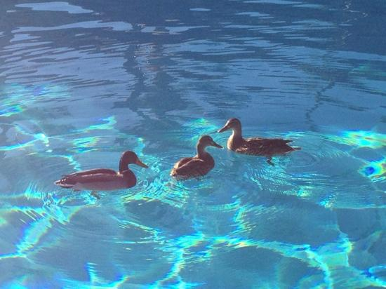 Hyatt Place Tucson Airport: ducks