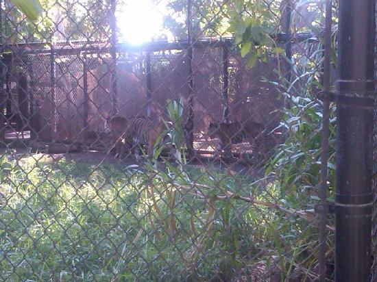 Honolulu Zoo: big Cats!