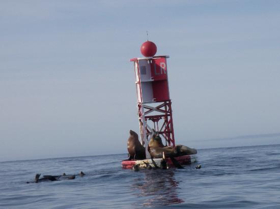 Kayak Mendocino: Sealions