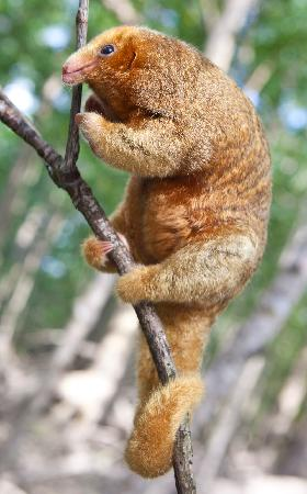 Manuel Antonio Expeditions: silky anteater #1