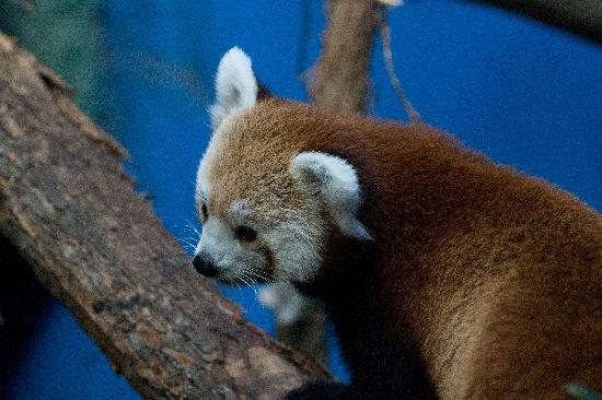 Birmingham, AL: One of the red pandas on exhibit