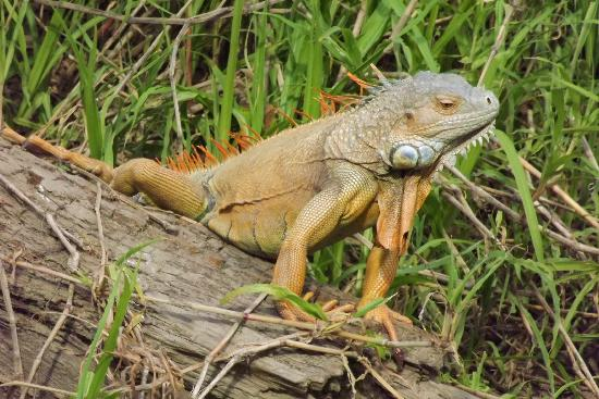 Costa Rica Pura Vida Swiss Management Day Tours: Iguana sunning himself by the river!
