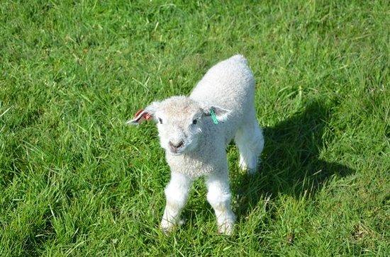 SuDan Farms: Cute little lamb