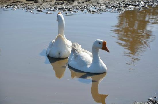 SuDan Farms: Swimming geese