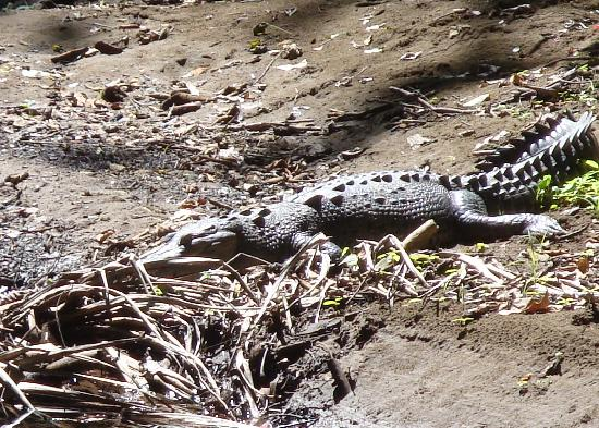 Curu National Wildlife Refuge : Crocodile