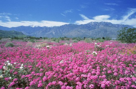 Palm Springs, CA: Wildflowers Bloom in the Spring