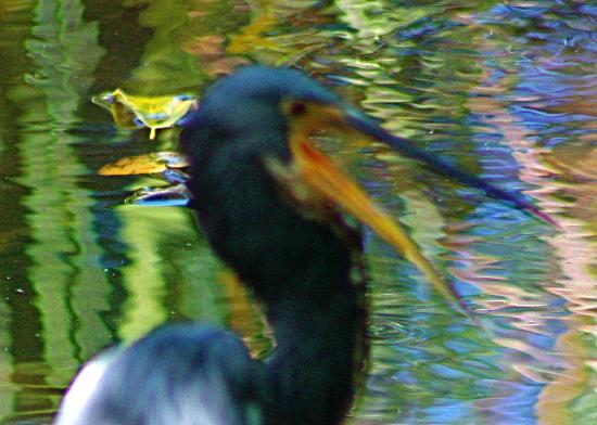 Royal Palm Reserve : Little blue heron