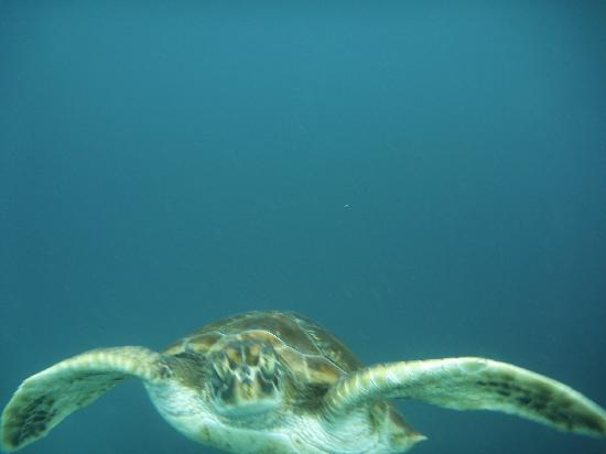 Guanguiltagua Expeditions: Green Pacific sea turtle at El Ahorcado islet in continental Ecuador