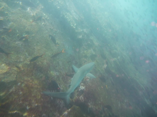 Guanguiltagua Expeditions: Galapagos shark at San Cristobal!