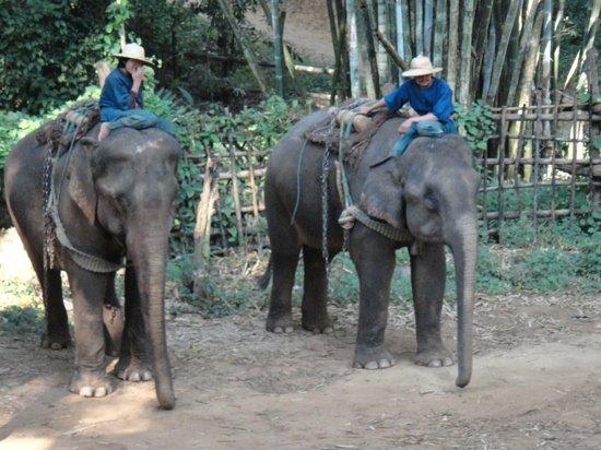 The Elephant Training Center Chiang Dao: travail des elephants