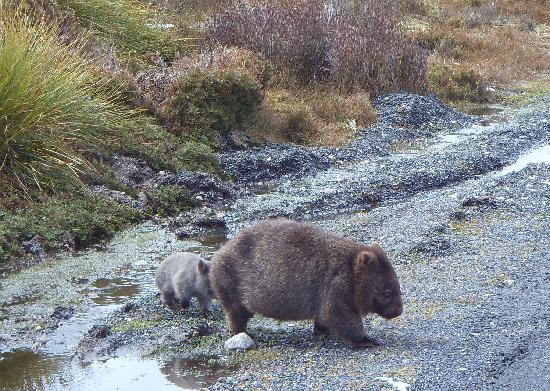 McDermott's Coaches - Day Tours : Wombat mother with her baby at Ronny Creek/Cradle Mountain