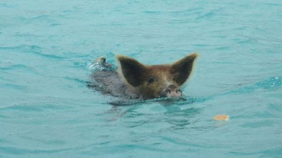 February Point Resort: Swimming Pigs
