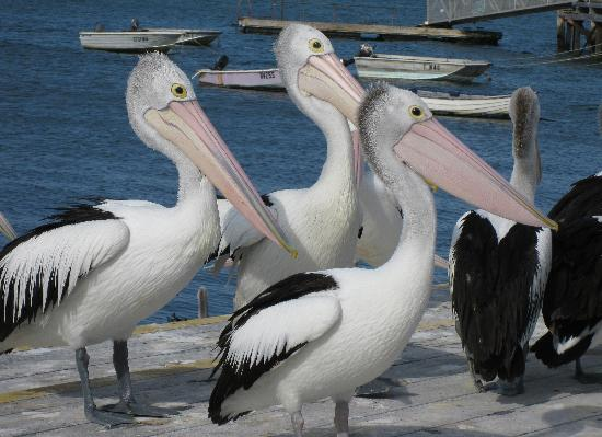 Mercure Kangaroo Island Lodge: Pelican feeding at Kingscote