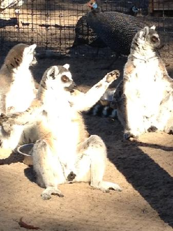 Giraffe Ranch: lemurs enjoying a little sunbathing