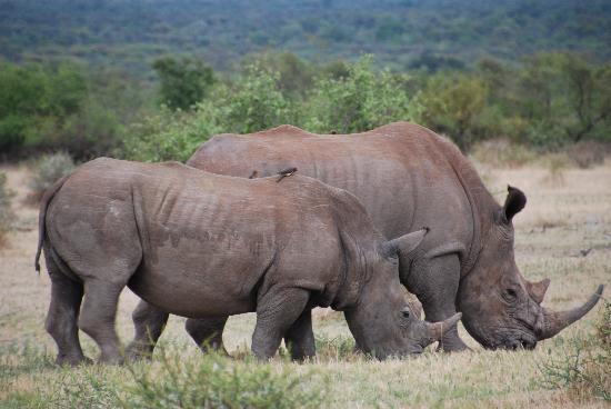 Impodimo Game Lodge: Rhinos everywhere