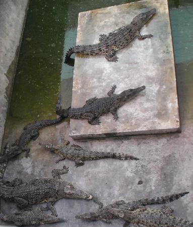 In der Tuaran Crocodile Farm