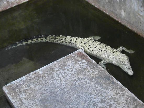 ‪‪Tuaran Crocodile Farm‬: In der Tuaran Crocodile Farm‬