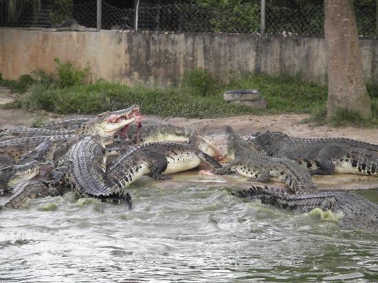 Tuaran Crocodile Farm: Beim Fressen