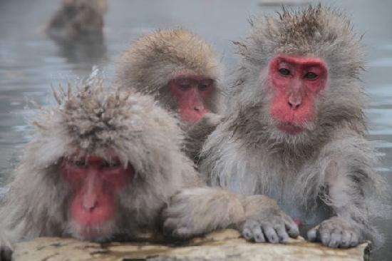 Elk at Hakuba: Snow Monkeys