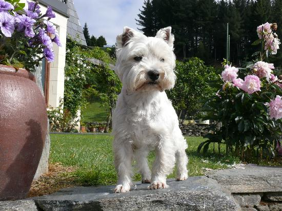 Crown View Bed & Breakfast: One of the little Westies