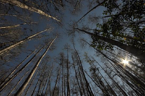 Corkscrew Swamp Sanctuary : Tall cypress pines